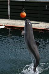 Jumping Porpoise (relausen) Tags: ocean sea water animals denmark whales porpoise kerteminde fjordblt fjordbaelt