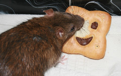 Are you looking at me silly cookie??? *grin* (Misja Klimov) Tags: rodent rat cookie cookiemonster rata galleta galeta neoko rosegador fontanedadiver