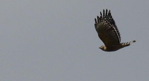 hawk close up 5