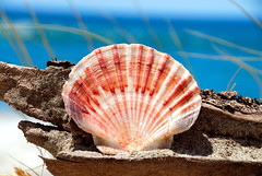 Shell on Pakiri beach (non-polarized)