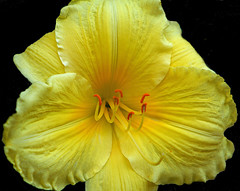 The Trouble With Flowers (linda yvonne) Tags: yellow bravo daylilly soe hemerocallis excellence onblack annegeddes naturesfinest beautifulearth blueribbonwinner supershot flowerotica flickrsbest litref capturethemoment mywinner anawesomeshot juneinjanuary superbmasterpiece excellenceinfloralphotograpy citrit empyreanflowers brillianteyejewel colourartaward goldsealofquality theperfectphotographer macroflowerlovers bloomsforoneday thejoysofphotography