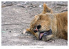 لـيت في الدنيـا أُسـود .. كمــا فيـها كِــلاب ~ (Nasser Bouhadoud) Tags: park trip animal animals canon relax thailand eos 350d sleep bangkok lione 2006 safari pure nasser qatar saher ناصر أسد allil saherallil بوحدود
