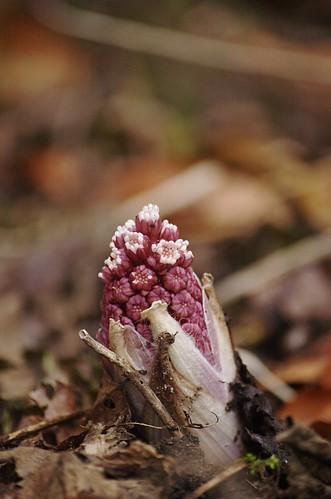 Petasites hybridus - groot hoefblad