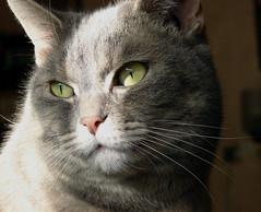 Beautiful eyes (Bandus47) Tags: cats kissablekat bestofcats ilovemypic boc0808