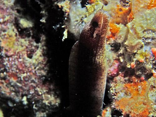 moray