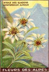 fleurs alpes 8