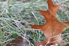 Maple towers (Blackcatatheart) Tags: fall grass leaves shapes veins abigfave