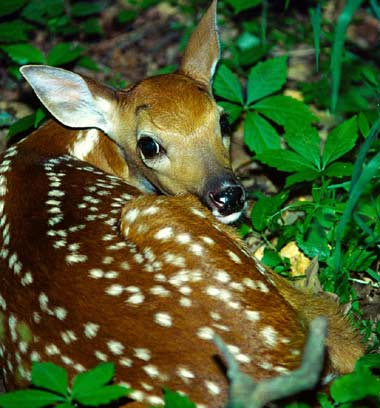 white_tail_deer_fawn.jpg