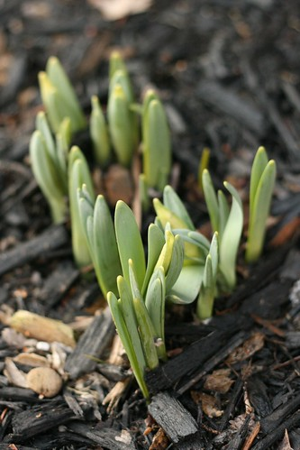 side yard - first of the bulbs