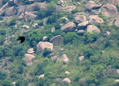 shaheen falcon pic taken by Arun/Kiran 050408