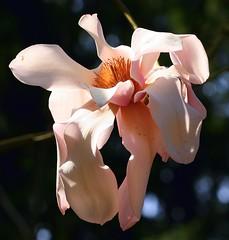 Relaxed Magnolia Bloom (read4fun2) Tags: pink flower washington bloom magnolia soe federalway rhododendronspeciesgarden