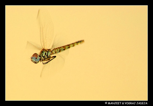 dragonfly - repost