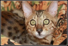 Rocky (Mara Pilar_trl - Off) Tags: rocky ojos gato felino bengali