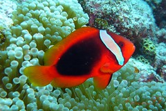 Tomato Clownfish on Kerama Islands