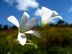 flor do campo (santelmos) Tags: retouch
