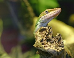 Anole (Cal Bear 94) Tags: pet reptile lizard iguana anole greenanole mealworms eatscrickets fiveincheslong