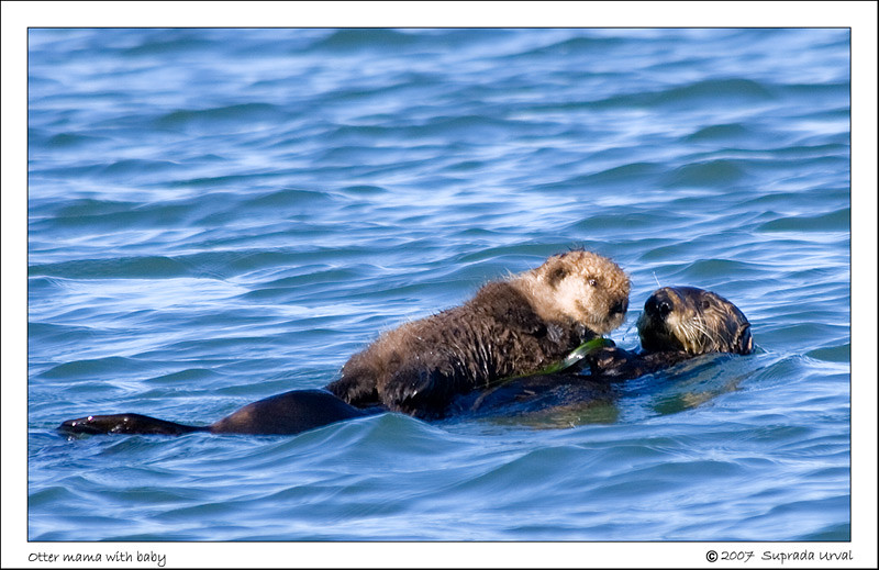 Mama and Baby Otter