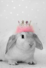 Lop Rabbit *Whisper* (The Shabby Bunny) Tags: pink white black cute rabbit bunny princess rosa crown lop lifebeautiful petsittingnottingham nottingpetsitters