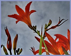 Flame Lily, flame lily, burning bright.... (NasB) Tags: fab lily polaris supershot flamelily anawesomeshot