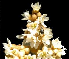 On job (Nespyxel) Tags: white flower nature natura bee ape fiore bianco challengeyouwinner nespyxel stefanoscarselli pleasedontusethisimageonwebsites blogsorothermediawithoutmyexplicitpermissionallrightsreserved