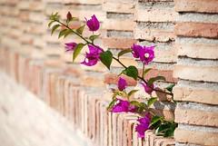FLORECILLAS (ABUELA PINOCHO ) Tags: flores muro dof flor desenfoque valla buganvilla focoselectivo ltytr1 a3b floresbugambiliasveraneras