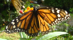 Spread_9849 (jaciii (off&on)) Tags: brown white black canon butterfly butterflies monarch butterflyweed digitalfiction sd600 canonsd600 excellentphotographersaward butterflygallery top20butterflyphotos