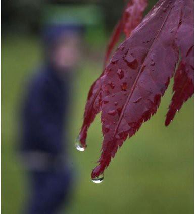עלים אדומים בגשם