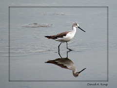 Greenshank (daKing pics) Tags: bird tringa wader commongreenshank queenslandaustralia greenshank tringanebularia nebularia mywinners