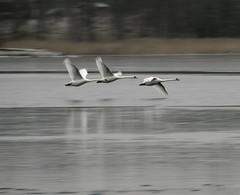 Flight (d.lindholm) Tags: winter bird nature photo europe sweden flight swans birdsinflight kalmar fågel svan nikon18200mm knölsvan nikond40x treeofhonor