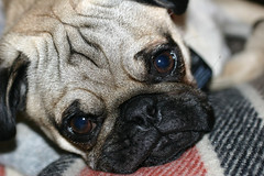Little Teddy (Cal Bear 94) Tags: dog cute puppy teddy pug wrinkles blueribbonwinner abigfave anawesomeshot