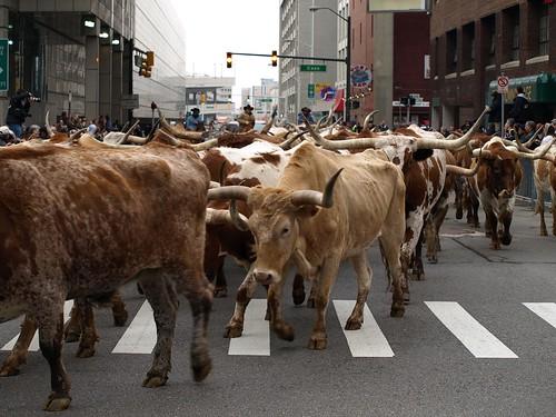 cattledrive