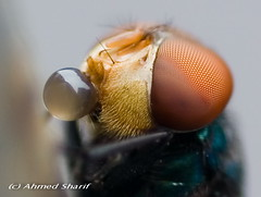 playing with bubbles??........ [Mohammadpur, Dhaka, Bangladesh] (Ideas_R_Bulletproof) Tags: macro face insect fly eyes nikon play close bubbles dhaka nikkor bangladesh saliva d80 mohammadpur excapture af60mmf28