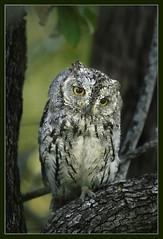 Scops owl (hvhe1) Tags: africa bird nature animal southafrica bravo wildlife owl krugernationalpark birdofprey themoulinrouge naturesfinest scopsowl specanimal animalkingdomelite hvhe1 hennievanheerden infinestyle avianexcellence