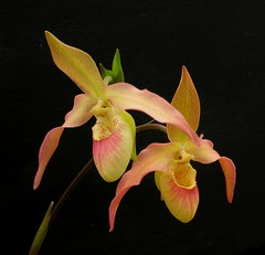 Phragmipedium Mountain Maid (Todd Boland) Tags: orchid orchidaceae phragmipedium slipperorchids thepoweroftheflower