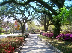 Canopy And Color (gatorgalpics) Tags: universityofflorida explore springbreak fl 162 gainesvillefl oncampus treecanopy 5photosaday azaleasinbloom emptycampus newelldrive campuscountdowntillspring lessthan8daystillspring