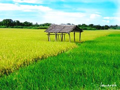 rice field (Lenareh) Tags: rice farm hut ricefield bicol norte nipahut blueribbonwinner daet camarines camarinesnorte abigfave superaplus aplusphoto artlegacy lenareh pkchallenge spiritofphotography aphotocontest35