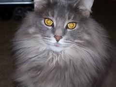 quasimoto (w*ndy) Tags: tongue cat fluffy moto majestic quasimoto quas