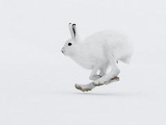 Metsäjänis (mattisj) Tags: white snow lumi talvi naturesfinest jänis valkoinen mountainhare lepustimidus bfgreatesthits onephotoweeklycontest metsäjänis
