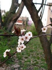 (Lori-Lyn) Tags: spring blossoms plumtrees