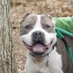 What a smile! (ADOPTED) (Valerie Craig (Val Ann)) Tags: rescue dog newjersey nj pit pitbull monmouthcounty shelter adoption eatontown valann pittie mcspca albertmg8990 valann422