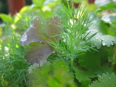 dill, cilantro and basil (thomas pix) Tags: garden herbs eyefi