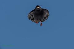 02-9230 (fix.68) Tags: chocardàbecjaune oiseau vol