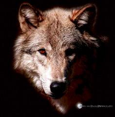 TELL ABOUT IT ... (Aspenbreeze) Tags: wolf wolfcloseup wildwolf wildanimal animal wildlife wolfeyes wolfportrait nature wyomingwildlife aspenbreeeze moonandbackphotography bevzuerlein ngc
