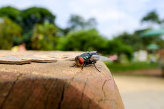 _DSF6381 (gustavomorita) Tags: cor ibira inseto macro mosca olho parque parqueibirapuera sp sãopaulo tronco varejeira