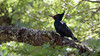 Carpintero negro, hembra (Cristian Becker) Tags: d810 nikkor carpintero 600mmf4gvr tc17eii conguillío campephilusmagellanicus woodpecker magellanicwoodpecker