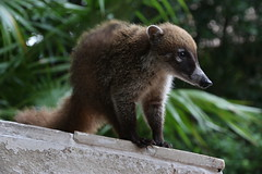 Coati (MT_Photography) Tags: coati mexico playamaroma