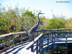 Blue Heron - Everglades FL (Aaron Whitaker) Tags: park blue bird heron nature water leaves landscape florida olympus everglades evolt folage e500