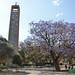 St Mary's tower and jacaranda