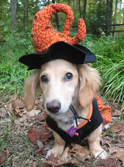 Witch Honey (Doxieone) Tags: orange dog black cute english fall halloween costume interestingness long witch cream dachshund explore honey blonde exploreinterestingness haired pup1 2007 coll 1002 longhaired honeydog explored englishcream honeyset fallhalloween200672008set
