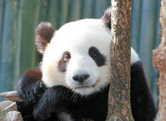 Su Lin (kjdrill) Tags: california bear usa giant zoo panda sandiego bears chinese explore memory colbert opinion permanent stevencolbert oldglory endangeredspecies stephencolbert sdzoo sulin 25faves scomp